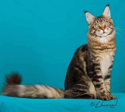 Maine coons seattle