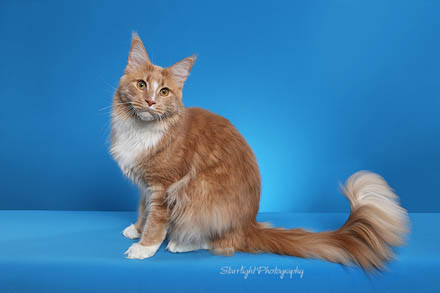 Windwalker Maine Coon boys