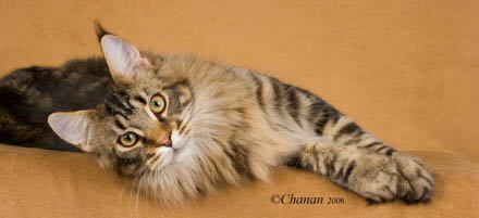 Windwalker Maine Coon cats of Sacramento home page