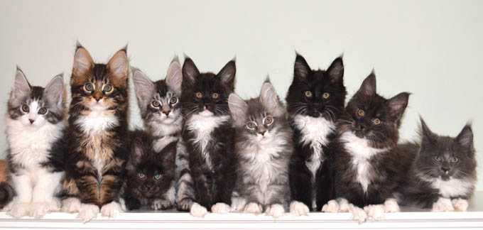 Windwalker Maine Coon kittens